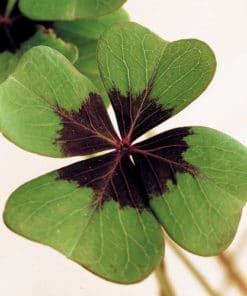 Grow your Own Four Leaf Clover